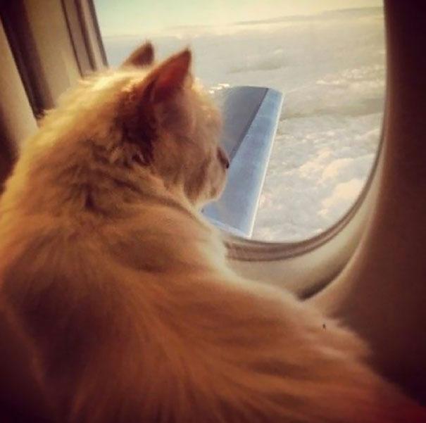 Uçakla seyahat etmeyi seven kedi