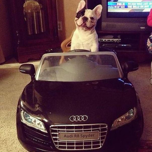 arabası olan köpek
