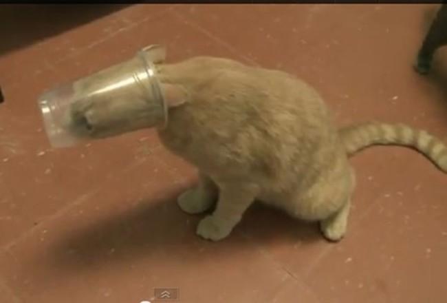 bardağa sıkışmış kedi