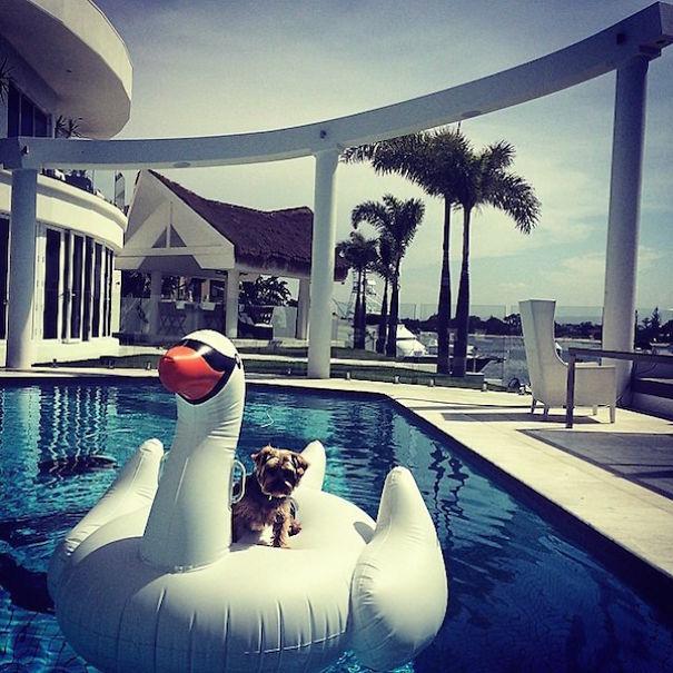havuzlu olan zengin köpek