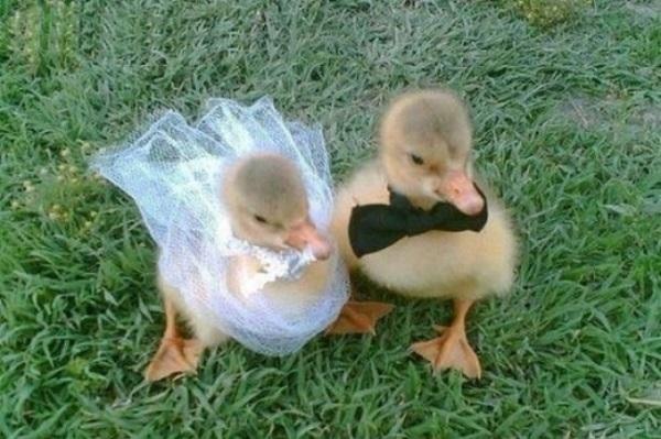 ördek çift