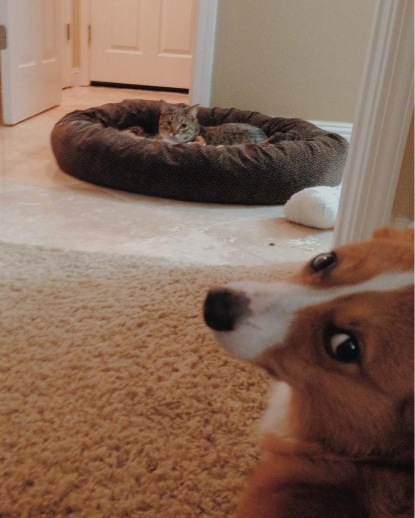 kedi köpeğin yatağında