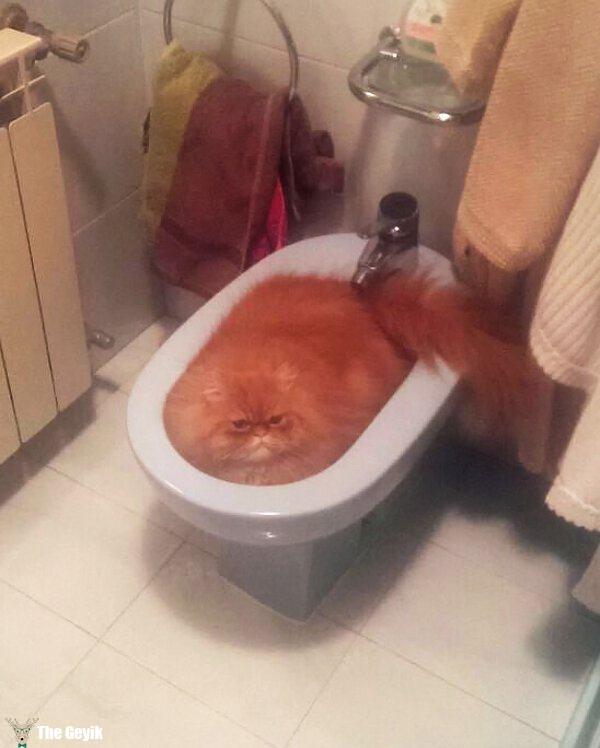 kediler sıvı mı