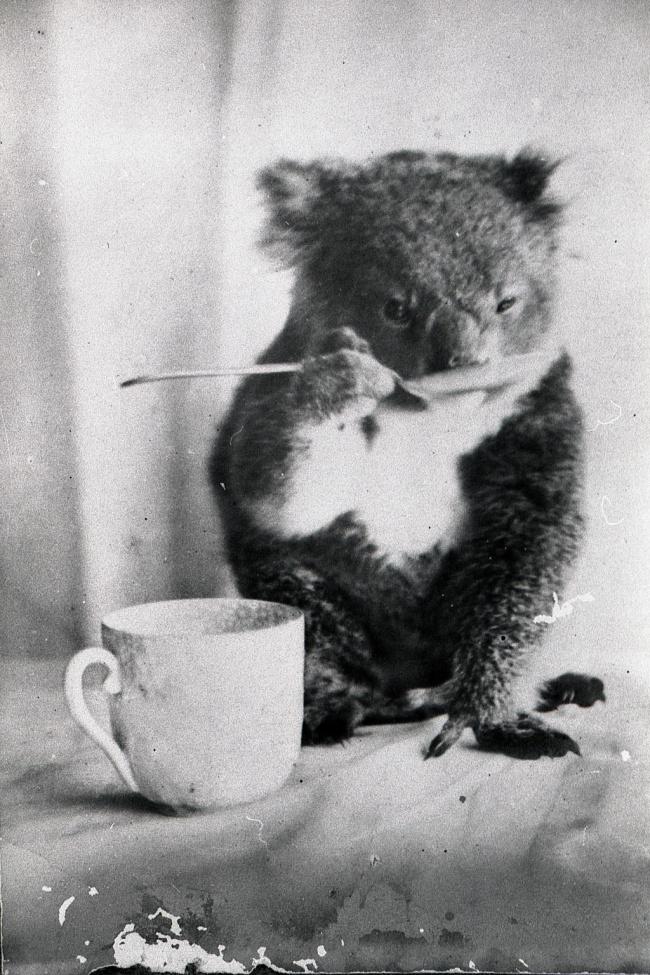 1900 koala