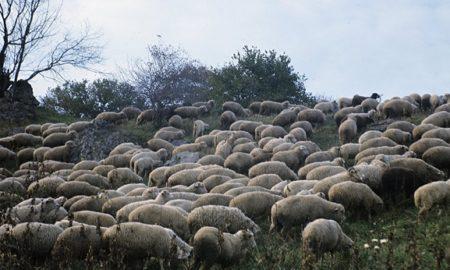 esrar yiyen koyunlar