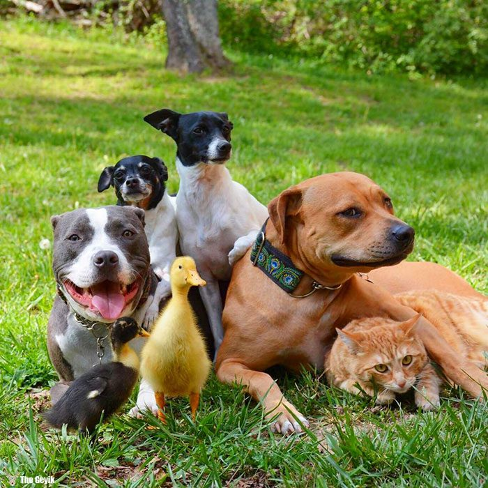 unusual-animal-friendship-dogs-cat-ducks-kasey-and-her-pack-18a