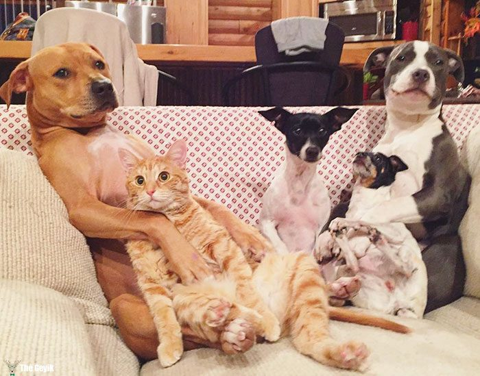 unusual-animal-friendship-dogs-cat-ducks-kasey-and-her-pack-35